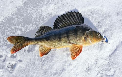 Fishing for perch in winter with a spoon