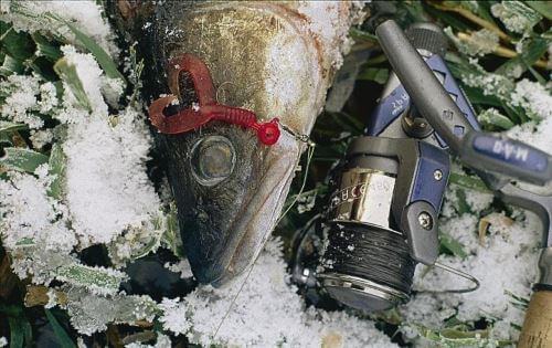 Tips for catching a predator in winter